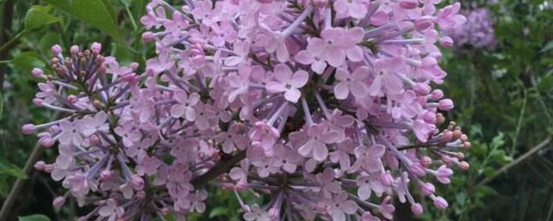 丁香树能栽在院子里吗