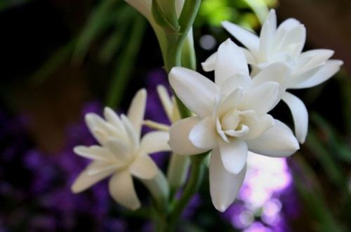 晚香玉怎么养可以多开花,疏松土质追施磷酸二氢钾
