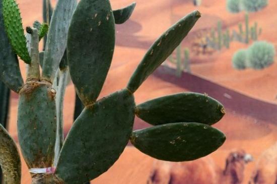 仙人掌有没有毒,仙人掌的小刺含有毒素
