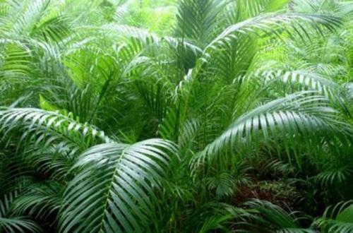 夏威夷椰子和散尾葵的区别