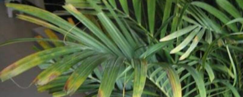 凤尾竹叶子发黄剪掉吗