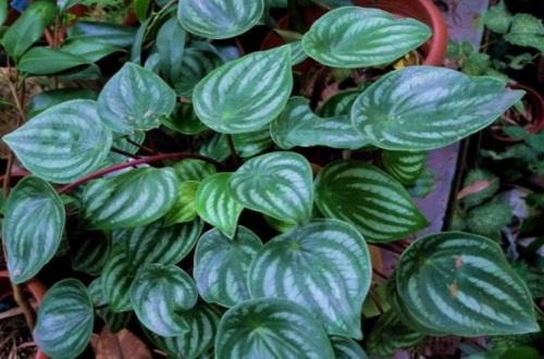 西瓜皮椒草怎么养长得好,透气土质湿润养护