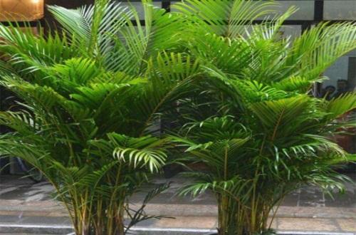 夏威夷椰子秋天怎么养
