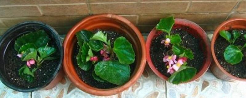 海棠扦插繁殖方法