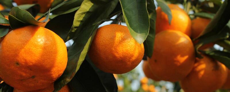 柑橘是什么