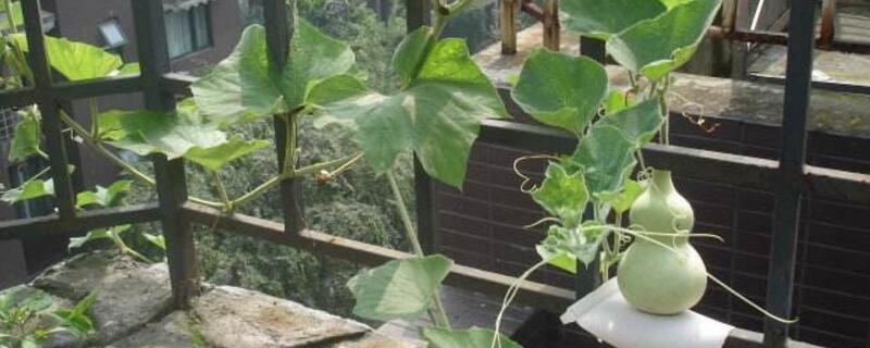 葫芦怎么种盆栽
