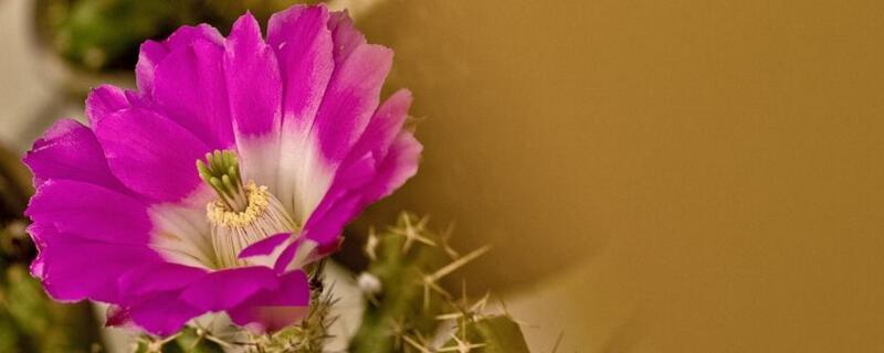 虎头梅怎样绿植屋养容易开花