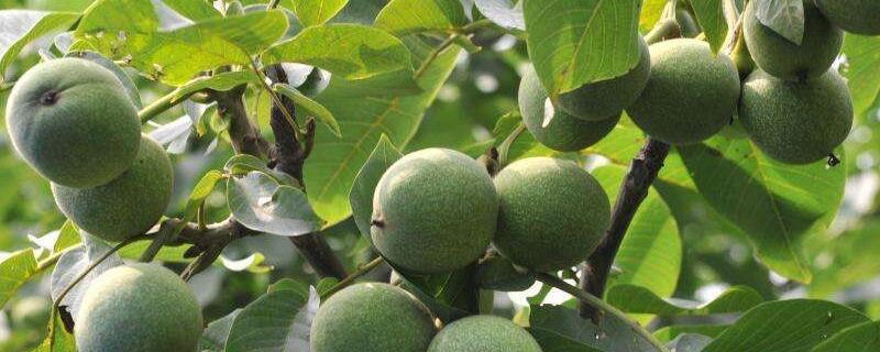 核桃树开花结果的过程