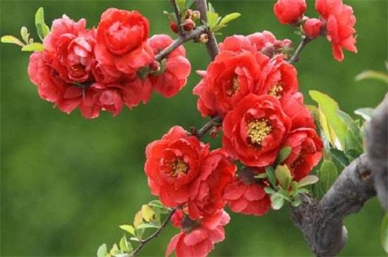 海棠新品种
