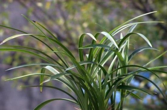 宋梅的病虫害及其防治,霉菌病需更换土质药剂喷洒