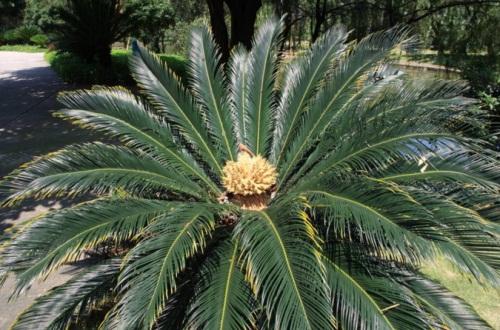 菠萝铁树夏天怎么养,降温增湿通风良好