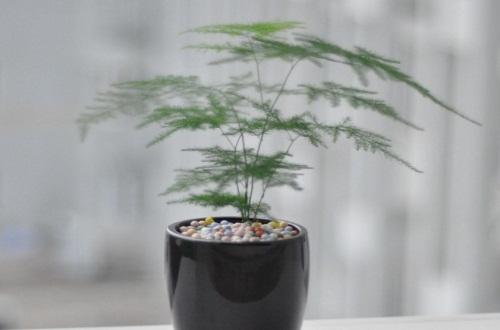 文人为什么喜欢文竹