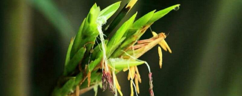 开花的竹子叫什么名字