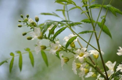 文冠果的虫害及其防治,木虱需清除病枝药剂喷杀