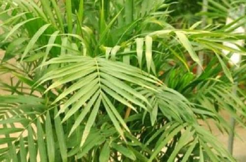 夏威夷椰子的风水作用
