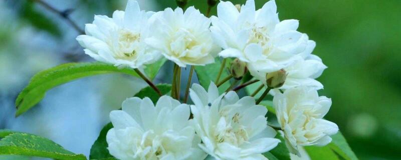 木香花几月扦插