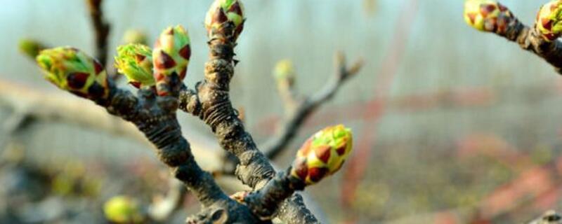 苹果树修剪方法