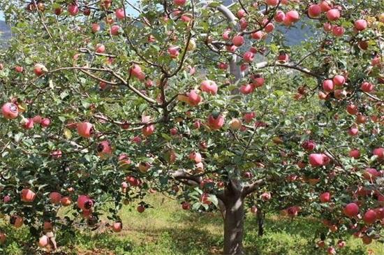苹果树先长叶还是先开花