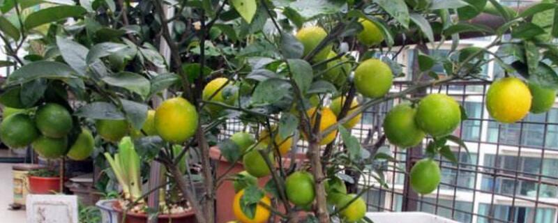 柠檬怎么养才能更旺盛