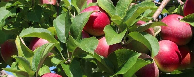 苹果树种在什么地方