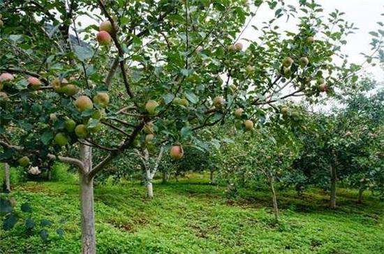 苹果树花期打什么药