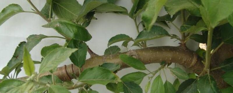 苹果树环割方法