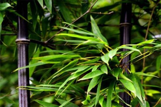 竹子怎么修剪