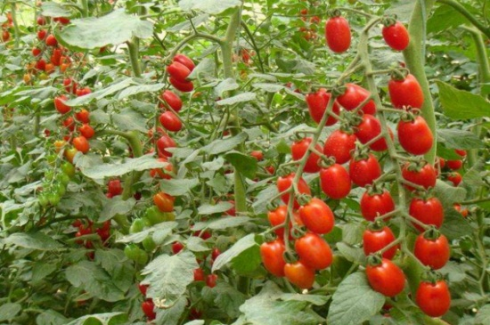 种番茄什么月份合适种