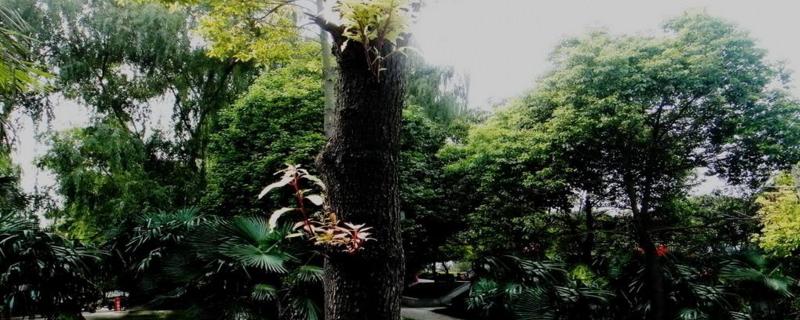 樟树种子怎么育苗