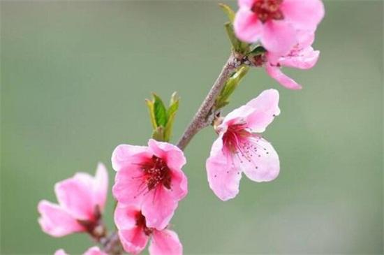 山桃花和桃花的区别