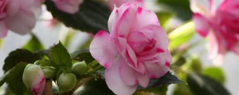 水梅花怎么繁殖