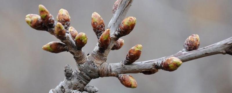 樱桃树花芽与叶芽区别