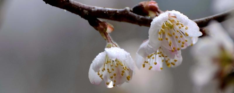 樱桃树怎么授粉