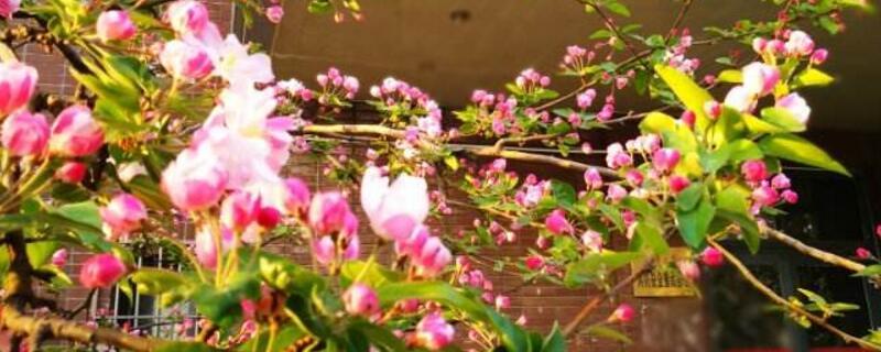 天津海棠花什么时候开