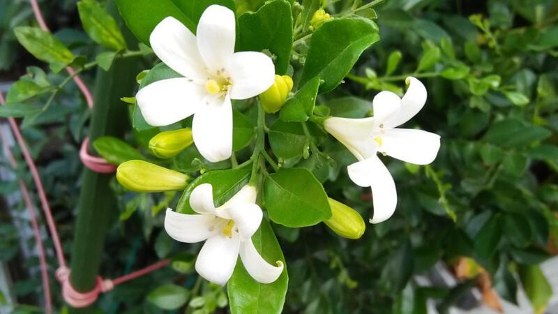 七里香花的养殖方法和注意事项