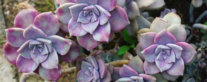 紫乐多肉植物怎么养殖