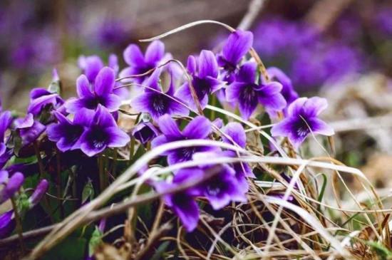 紫色地丁的药用价值