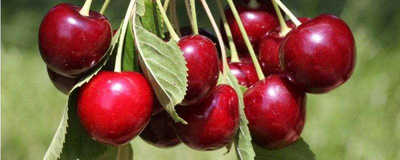 樱桃在南方可以种植吗