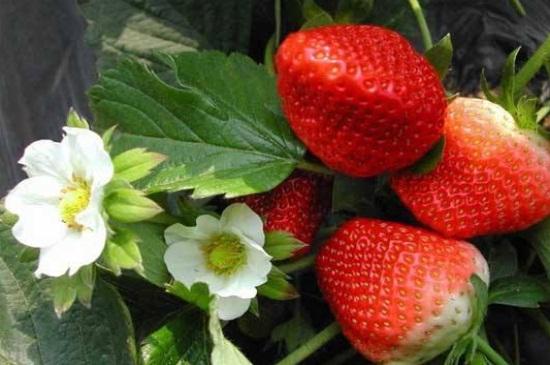 草莓苗能晒太阳吗