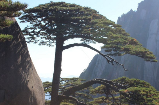 坟前种什么树