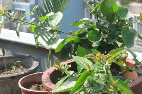 海棠插枝能活吗