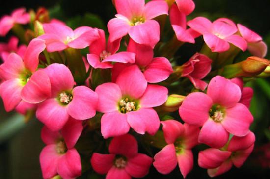 长寿花开花后怎么剪枝