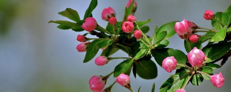 种海棠树的意义