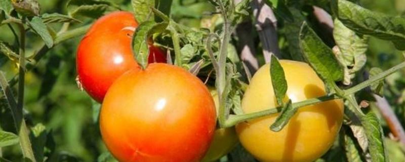 西红柿什么季节成熟