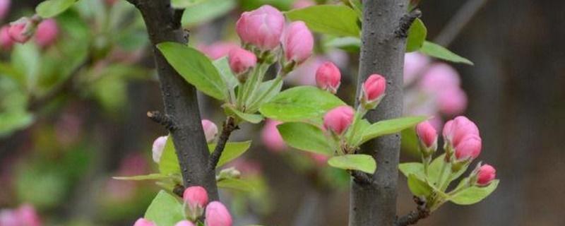 海棠花苞掉落什么原因