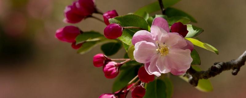 海棠花能扦插吗