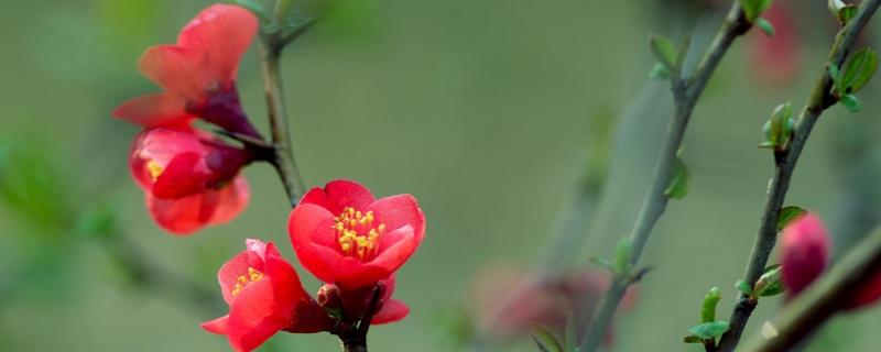 海棠花生虫子的原因