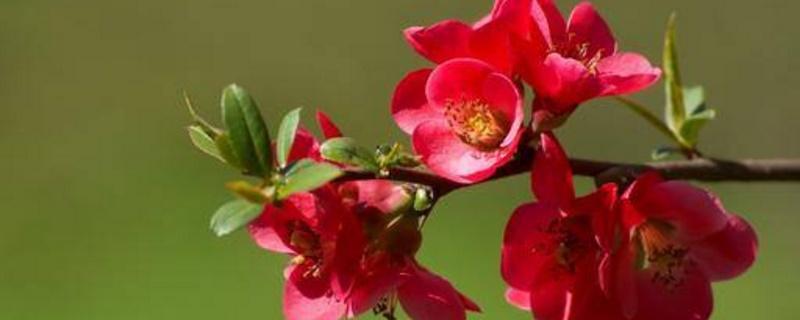 海棠花是完全花吗