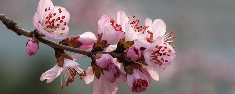 山桃花与桃花的区别
