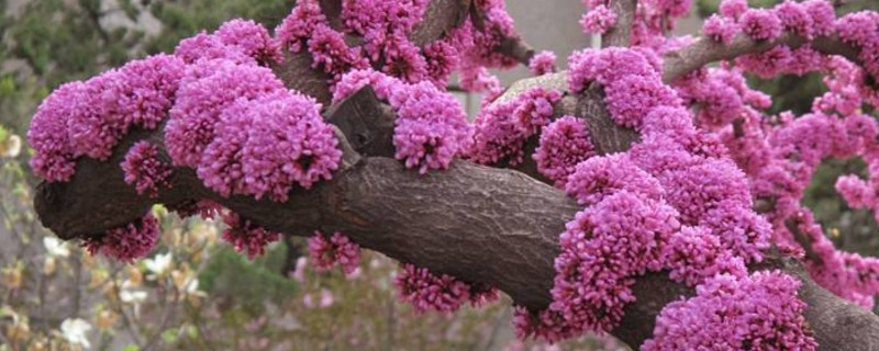 紫荆花的花语和寓意